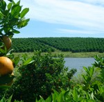 Citrus groves, leaves, oranges, trees. UF/IFAS Photo: Thomas Wright.