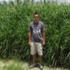 Figure 2.  Stands of Miscanthus x giganteus reach maturity in July in Florida