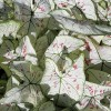 Figure 1. &#039;Strawberry Star&#039; caladium plants grown in ground beds in full sun