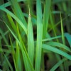 Figure 1. Cogongrass plants are yellow to green in color. Note that the edges of the leaf tend to have more yellow than green.