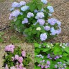 Figure 1. Most bigleaf hydrangea flower heads are blue in the presence of aluminum ions in soil (typically acid soils), pink in the absence of aluminum (typically alkaline soils) or purple in neutral soils. This shows the mophead flower types in blue (Figure 1a &#039;Bailmer&#039; Endless Summer) and pink (Figure 1b &#039;Penny Mac&#039;) as well as the lacecap flower type in purple (Figure 1c &#039;Miyama-yae-Murasaki&#039;).