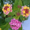 Figure 4. UF-T4 lantana flowers and inflorescences grown outdoors in ground beds in full sun.