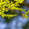 Figure 1. Water Locust (Gleditsia aquatica), Tosohatchee Wildlife Management Area, Orange County, FL, July 2012
