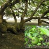Figure 1. All portions of the manchineel tree are poisonous.