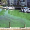 Figure 1. A bloom of blue-green algae on the water surface in the St. Lucie Estuary, Fla.