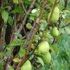 Figure 1. Common pear (Pyrus communis)