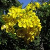 Figure 1. Gold medallion tree (Cassia leptophylla) in bloom