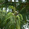 Figure 1. White leadtree (Leucaena leucocephala)