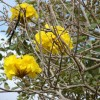 Figure 1. Tabebuia serratifolia, Yellow Trumpet Tree