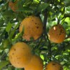 Oranges displaying evidence of Citrus Black Spot. 2010 Annual Research Report Photo. UF/IFAS File Photo.
