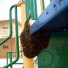 Figure 1. A swarm of bees has clustered on playground equipment.