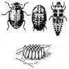 Figure 1. Estadíos de la mariquita común: adulto, pupa y larva (arriba), un conjunto de huevecillos (abajo).