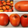 Figure 1. a) Diseased tomato fruits while in the shipping container (top left), b) individual fruit with early and late symptoms (top right), and c) symptoms starting as circular water-soaked areas through development into sunken black cups and cracks (bottom).