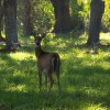 Figure 1. What often limits deer populations in Floridas forests is the availability of nutritious foods.