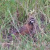 Figure 1. Male northern bobwhite.