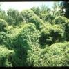 Figure 1. Skunkvine growing over native shrubs.
