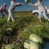 Universty of Florida Extension Agent, Andy Andreasen, Chipley, Florida, farm, harvest, farmer, October, Washington County, watermelon. UF/IFAS Photo: Josh Wickham.
