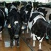 e dairy cows wait patiently in line to give milk at the UF/IFAS Dairy Research Unit in Hague. Florida ranks first nationally in average herd size and 15th in milk income. Photo by Milt Putnam.