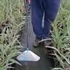 Figure 3. Coberturas pueden ayudar a reducir la deriva de la aplicación hacia plantas deseables.