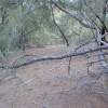 Photograph of ground beneath a forest of Casuarina equisetifolia (ironwood) trees showing allelopathy. Photographed at Moloa'a, Kaua'i, Hawai'i.