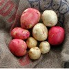 Figure 1.  Red and white potatoes are grown commercially in Florida.