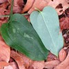Figure 5. The glaucous coating on the lower surface of the leaf on Smilax glauca is an excellent distinguishing characteristic for this species.