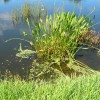 stormwater pond plants