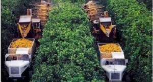 Continuous canopy shake and catch citrus mechanical harvesting system.