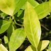Figure 1. Nitrogen-deficient leaves. Credit: M. Zekri