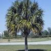 Figure 1. Sabal or cabbage palm (Sabal palmetto) Credit: T. K. Broschat