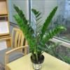 "Figure 1. Zamioculcas zamiifolia, commonly called ""ZZ plant,"" performs well indoors. Credit: R. J. Henny"