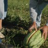 Figure 1. In 2010, Florida ranked first in the United States in watermelon production, accountting for 18% of watermelons grown in the country. Credits: UF/IFAS Communications