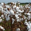 Figure 1.  A cotton plant that has been defoliated for two weeks is shown in this September 2008 photo, taken at the University of Florida's North Florida Research and Education Center in Quincy, FL. Credit: David Wright, UF/IFAS