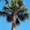 Figure 1. A typical Washingtonia robusta with less than a full 360° canopy.