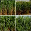 poetntial biofuel crops that were evaluated using the UF/IFAS Assessment Predictive Tool