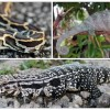 Figure 1. Burmese python (Python molurus bivittatus), Oustalet's chameleon (Furcifer oustaleti) and Argentine black and white tegu (Tupinambis merianae) are all exotic species found in south Florida.