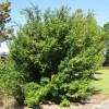 Figure 1.  Acer fabri, Faber's maple.