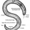 Figure 1. Diagram of a generic plant-parasitic nematode.