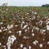 Cotton field on the West Florida REC property in Jay. Photo by Eric Zamora
