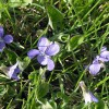 Figure 1. Violet in grass