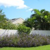 Figure 5. The sterile 'Purple Showers' cultivar of Mexican petunia is thriving in a Florida landscape.