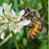 Figure 1. The western honey bee, Apis mellifera, collecting nectar from a flower.