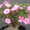 Figure 2. A light pink flowering form of Adenium swazicum in a 10-inch pot. Credit: R. J. Henny