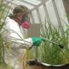 man spraying rice in greenhouse