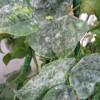 Figure 6. Development of powdery mildew on pole bean plants without full sunlight. Credit: Qingren Wang