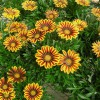 Figure 1. The vivid colors of gazania brighten the landscape.