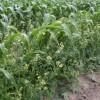 Figure 1.  Wild radish interference in sweet corn Credit: P. J. Dittmar