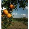 orange tree and landscape