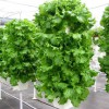 Figure 17. Lettuce grown in a vertical hydroponic system