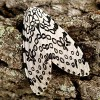 Figure 1. Giant leopard moth, Hypercompe scribonia (Stoll 1790).